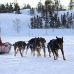 A dogsledder rides her team at Kam Lake in Yellowknife, NWT.